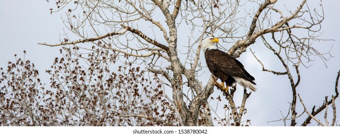 Bald Eagle in a tree at Camus Wildlife Refuge in Idaho in a tree