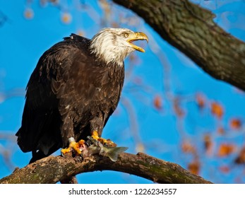 Bald Eagle in Tree Eating Fish
