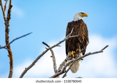Bald Eagle in a tree in front of a blue sky at Camus Wildlife Refuge in Idaho in a tree