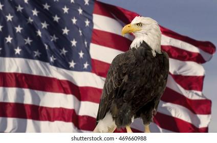 Bald eagle with USA flag