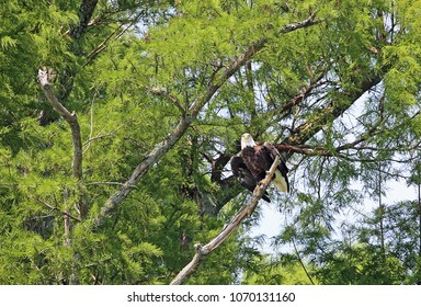Bald Eagle watching - Reelfoot Lake State Park, Tennessee