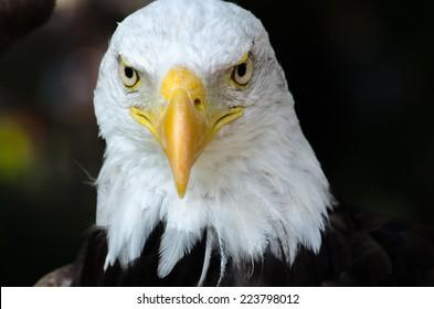 Bald eagle at zoo alone