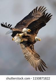 Bald Eagles Battle over Fish