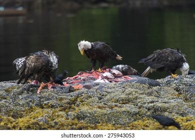 Bald Eagles feeding on fish carcass, Skeena-Queen Charlotte Regional District, Haida Gwaii, Graham Island, British Columbia, Canada