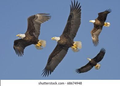 Bald Eagles in flight. Latin name - Haliaeetus leococephalus.