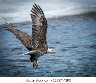Bald Eagles Flying and Hunting Over Water