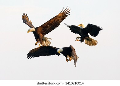 bald eagles flying in the sky