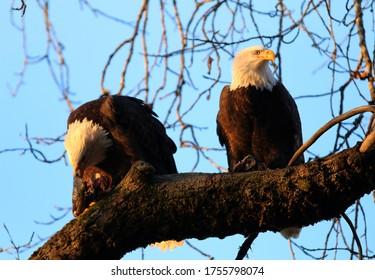 Bald Eagles in Haines Alaska