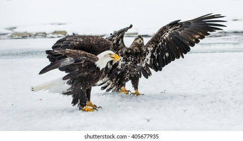 Bald Eagles (HALIAEETUS LEUCOCEPHALUS) fly up from snow. Alaska