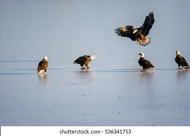 Bald Eagles (Haliaeetus leucocephalus) in Harrison-Chehalis Flats, Fraser Valley, Canada