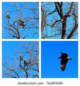 Bald Eagles (Haliaeetus leucocephalus) inhabiting the Kishwaukee River valley in northern Illinois