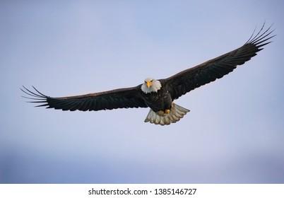 Bald Eagles at Katchemak Bay near Homer, Alaska