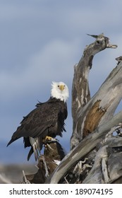 Bald Eagles perched on drift wood in Homer, Alaska
