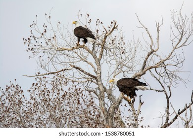 Bald Eagles in a tree at Camus Wildlife Refuge in Idaho in a tree