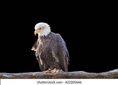 Bald feral eagle perched on a dry branch isolated on black background. Object with clipping path.