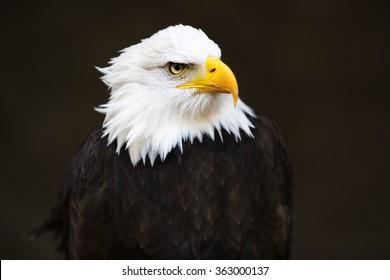 Bald headed eagle on dark background.