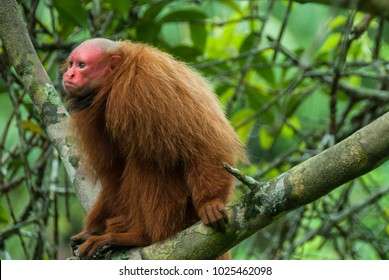 Bald uakari on a branch in rainforest, Peruvian Amazon.