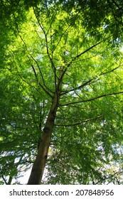 Baldcypress, Cypress, Sothern cypress