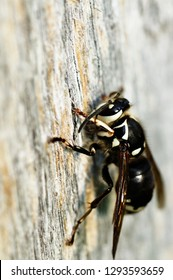 Bald-faced hornet, Dolichovespula maculata, gathering pulp from oak board for construction of a paper nest, West Virginia, USA