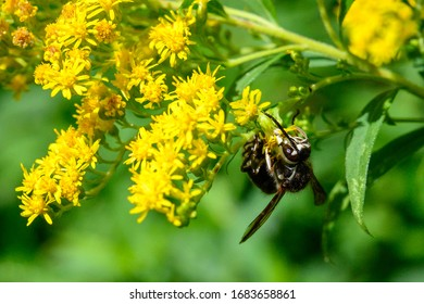 baldfaced hornet  eats nectar on goldenrod - this species is a yellowjacket wasp, not a true hornet