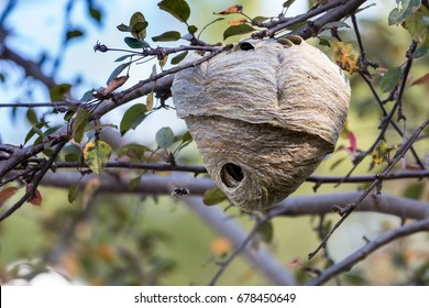A Bald-faced Hornet nest attached to a tree in Toronto, Canada