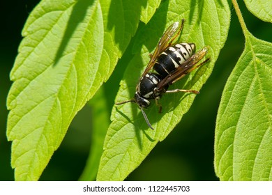 Bald-faced Hornet resting on a leaf. Also known as a Whote-tailed Hornet. Kirkfield Lift Lock, Kawartha Lakes, Ontario, Canada.