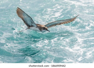 A balearic shearwater (Puffinus mauretanicus) flying in in the Mediterranean Sea and diving to get fish