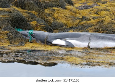 Baleen whale caught in a fishing net, beached and deceased.