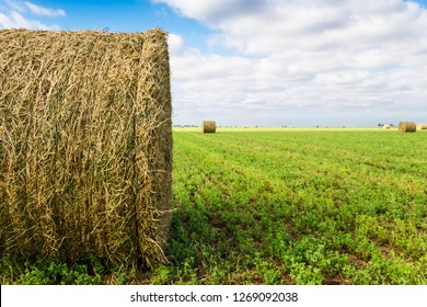 bales of alfalfa in the field in summer