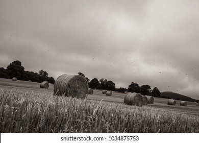 Bales of Hay on a Field, Agricultural Scenery of Autumn