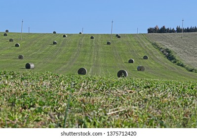 bales of lucerne also called alfalfa or erba medica Latin medicago sativa on a hillside in spring near Recanati and Loreto in Italy by Ruth Swan