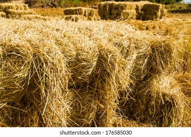 Bales of rice straw in countryside at harvest time .