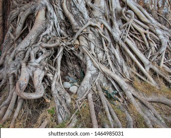 balete tree - old brown tree roots in the Philippines