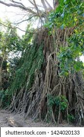 Balete Tree Vines in Baler - Image