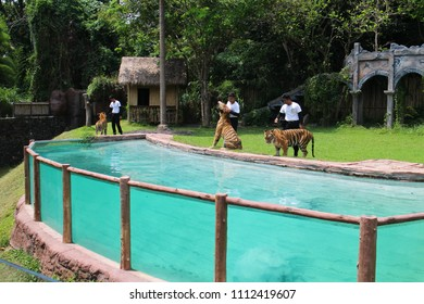 BALI 2017 - Animal trainer are giving a practice to the tiger to stand up and drinking a milk in Bali Safari Marine Park during January holiday season