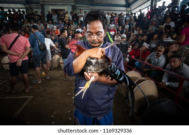 BALI, INDONESIA - AUGUST 25, 2018: The preperations of a cockfight, two fighting hens, which is ancient balinese tradition to fight evil spirits