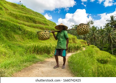 BALI, INDONESIA - FEBRUARY 28, 2020: Old farmer carries baskets on his shoulder in Tegallalang rice terrace field on Bali, Indonesia