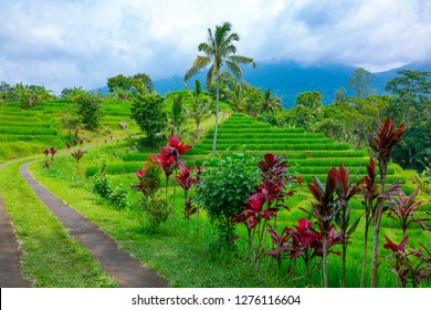 Bali, Indonesia,  green fields of rice in the Papuan area