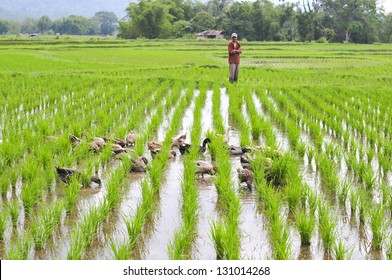 BALI, INDONESIA - JANUARY 29. Farmer walking his ducks on January 29, 2012 in Bali, Indonesia. Rice farmers also raise ducks for extra income and their feces provide fertilzer for their fields.