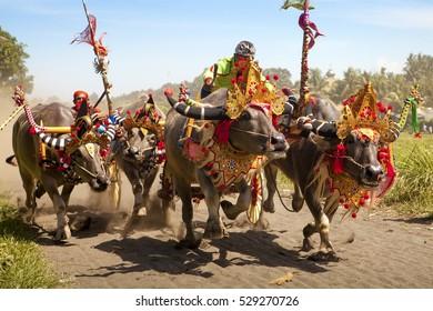 Bali Indonesia Jembrana Region, Negara,  Mekepung Buffalo Race, 31.August 2016