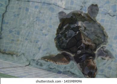 Bali, Indonesia - July 14, 2019: Turtle at turtle conservation Sindhu beach Sanur Bali