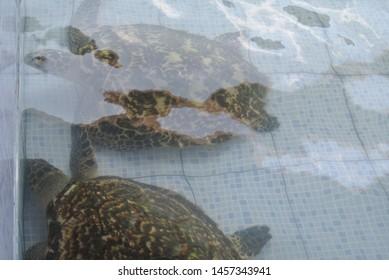 Bali, Indonesia - July 15, 2019: Sea turtle at turtle conservation at Sindhu beach Sanur Bali