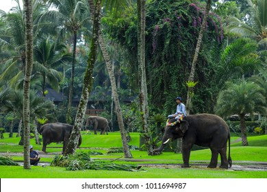 BALI, INDONESIA - NOVEMBER 17, 2017 : Mahout with Sumatran elephant at Mason Elephant Safari Park & Lodge in Ubud, Bali.