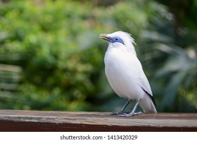 Bali myna, known by the scientific name Leucopsar rothschildi, singing a song