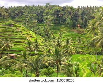 Bali - rice terrace in Ubud