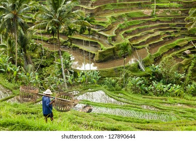 bali rice terraces worker