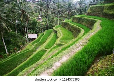 Bali. Tegalalang Rice Terraces