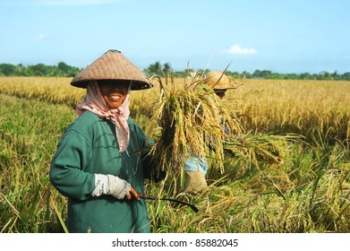 BALI,INDONESIA- APRIL 19:  Local women work on the rice field  on April 19,2011 in Bali, Indonesia. Rice is more than just the staple food; it is an integral part of the Balinese culture.