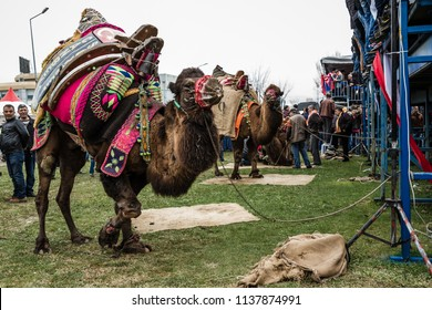 Balikesir, Karesi - Turkey - March 01, 2015 : Camels waiting for their turn in Karesi camel wrestling festival