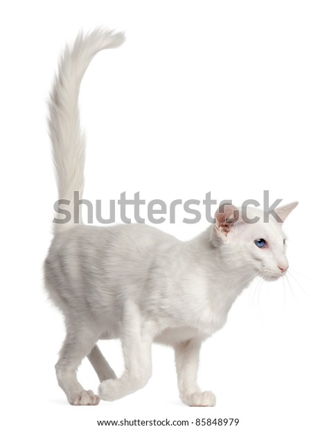 Balinese cat, 1 year old, walking in front of white background